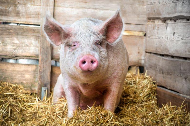 Készültséget rendeltek el Hargita megyében a sertéspestis terjedésének a megelőzéséért