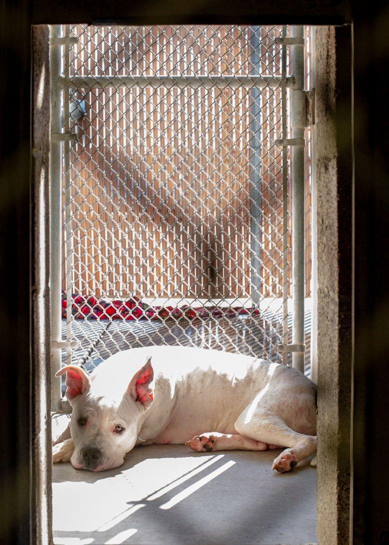 Megölt egy bichont, és annak gazdáját is megsebesítette egy pitbull