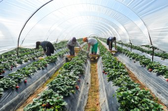 Koronavírussal fertőződtek meg romániai vendégmunkások egy németországi farmon