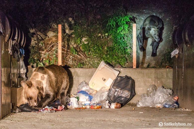 Medvéhez riasztották a csendőröket Gyergyószentmiklóson és Tusnádfürdőn