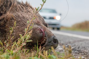 Elütött medvét találtak a Maros megyei Petele közelében