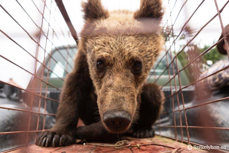 Elszállítják a Sugásfürdő közelében bóklászó medvecsaládot