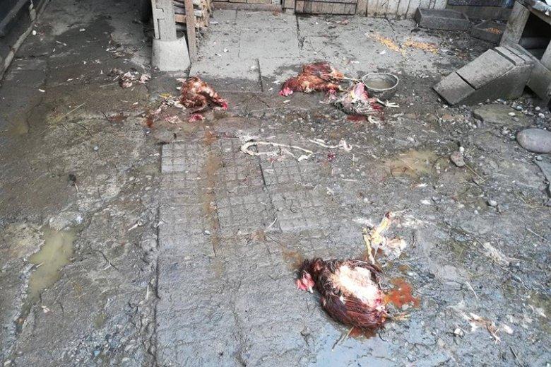 Ismét tyúkokat ölt a medve Etéden – a polgármester nyomkövetők használatában látja a megoldást