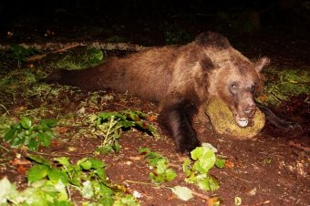 Medvekilövés: kettőből kettő Tusnádfürdőn