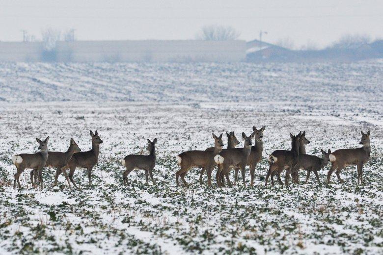 Közel harminc őz- és szarvastetemet találtak az Arad megyei Pécska és Kispereg határában – mérgezésre gyanakodnak a hatóságok
