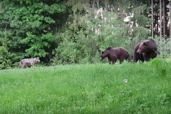 Amikor farkas provokálja a medvéket