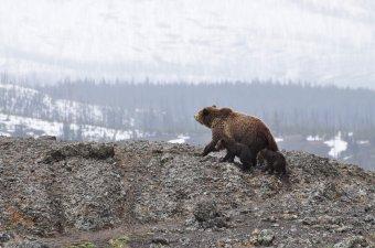 Külföldi turistákra támadt a medve a Fogarasi-havasokban