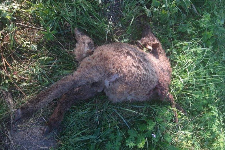 Újabb öt juhot ölt meg a zsögödi lakóparkhoz visszajáró medve