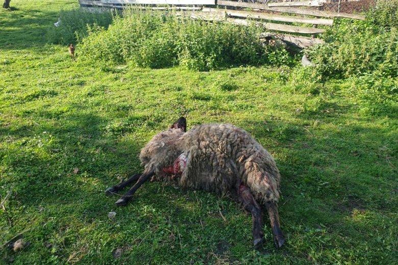 Három csíkcsomortáni portán öt báránnyal végzett a visszajáró medve