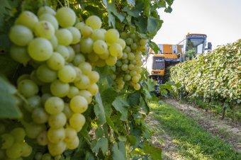 Kevesebb szőlő termett, de jó bor ígérkezik – Erdély több vidékén lecsengett már a szüret, de van, ahol csak októberben kezdődik