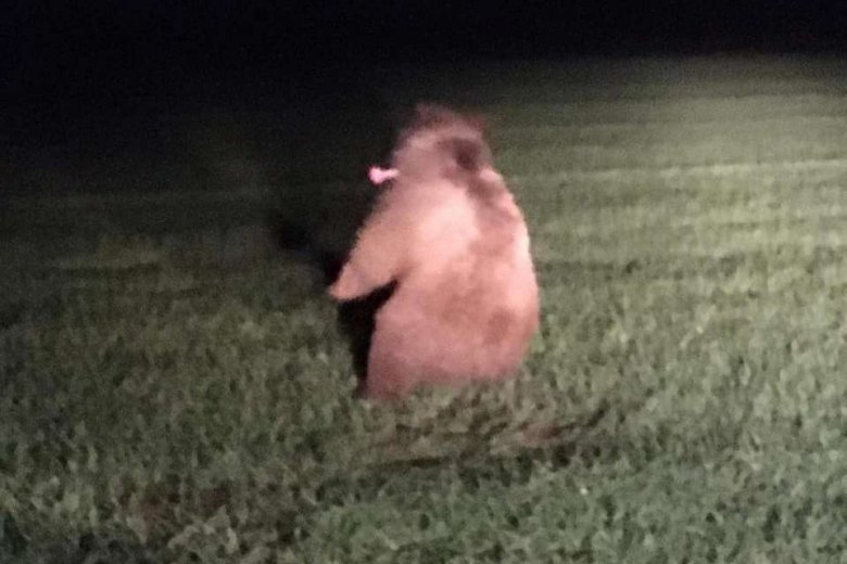 Az út melletti mezőre húzódott egy elgázolt medve, ám ezúttal hamar elaltatták és elszállították