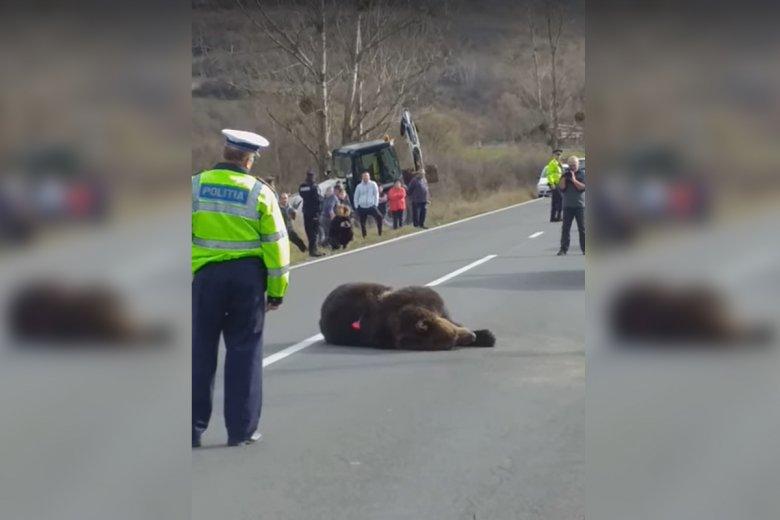 Menesztették a Hargita megyei prefektust az út szélén haldokló medve miatt