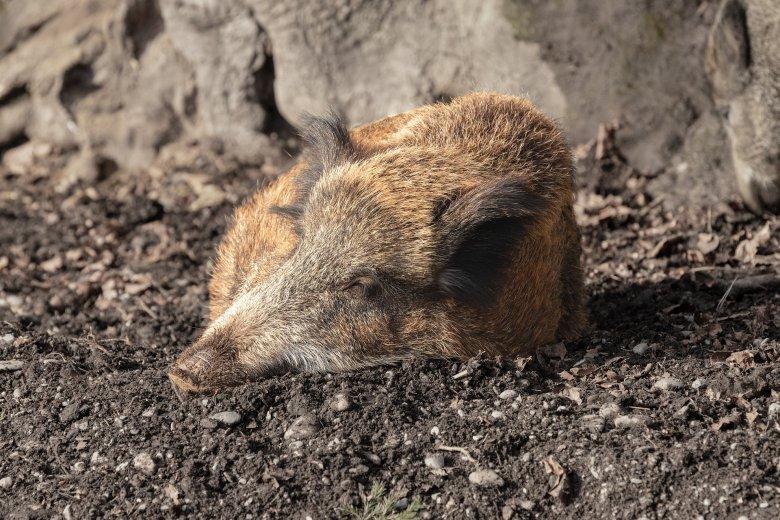 Nem találtak újabb vaddisznótetemeket, úgy néz ki, hogy megállt a sertéspestis terjedése