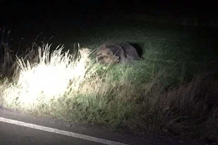Elgázoltak egy medvét Parajd kijáratánál