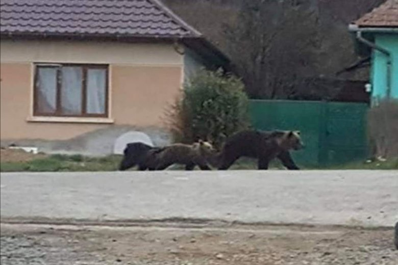 Az utcán járnak a medvék Erdőszentgyörgyön