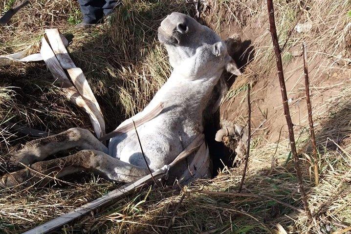 Gödörbe szorult lovat mentettek meg a Hargita megyei tűzoltók