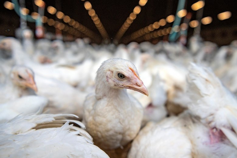 Száznyolcvanezer baromfit elpusztítanak Nyárádtőn madárinfluenza miatt, védőkörzet alakul
