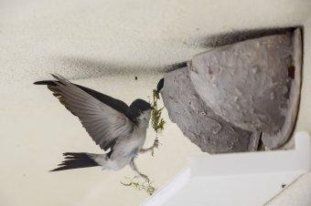 Drasztikusan csökken a fecskeállomány, egyszerű és nagyszerű megoldások a kártevőirtó madarak védelmére