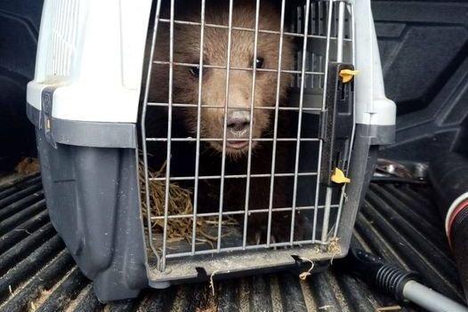 Medveügyben, amire rövidtávon számítani lehet: egyre gyakrabban fognak bejárni
