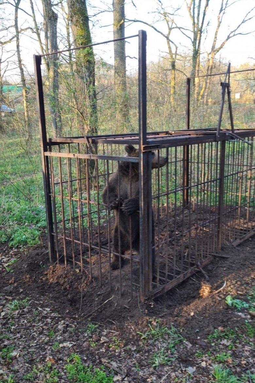 Belesétált a csapdába a Marosvásárhelyen időnként felbukkanó medve