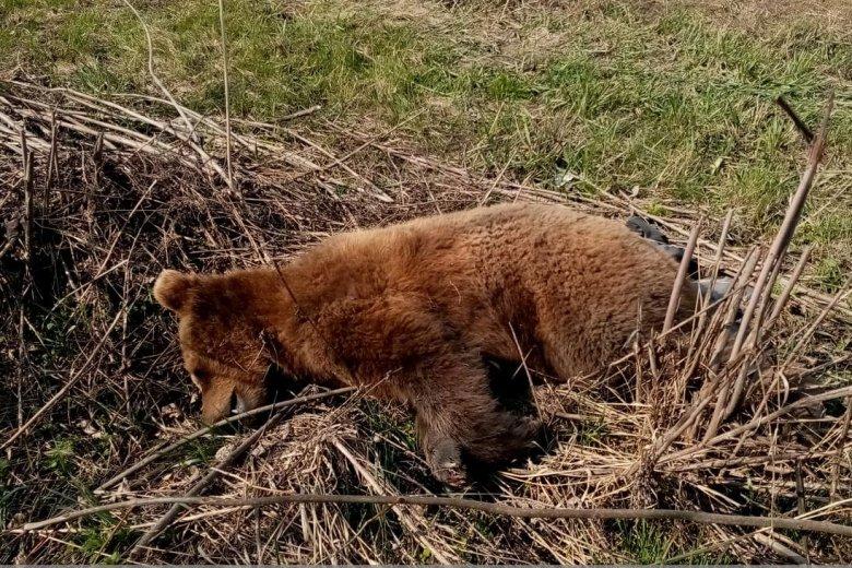 Autó gázolt el egy medvét, elpusztult a vadállat
