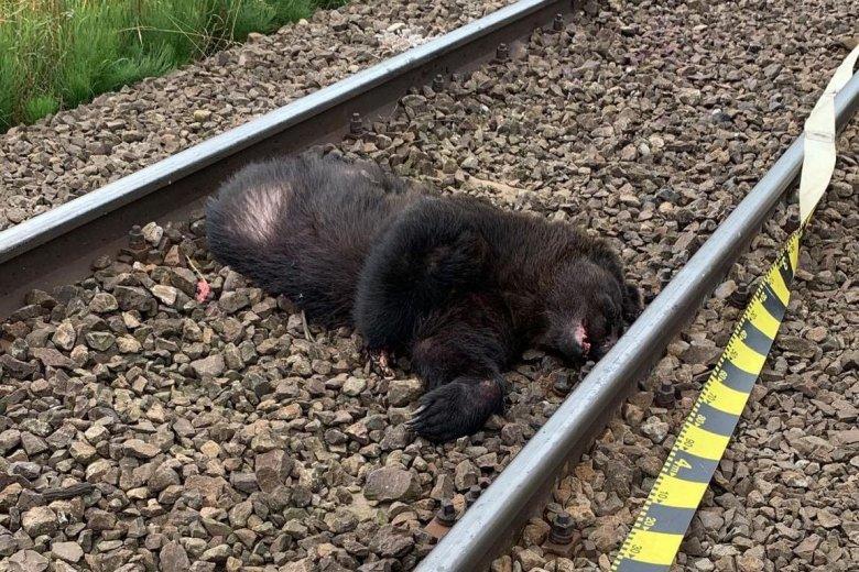 Vonat gázolt halálra egy medvét Gidófalvánál