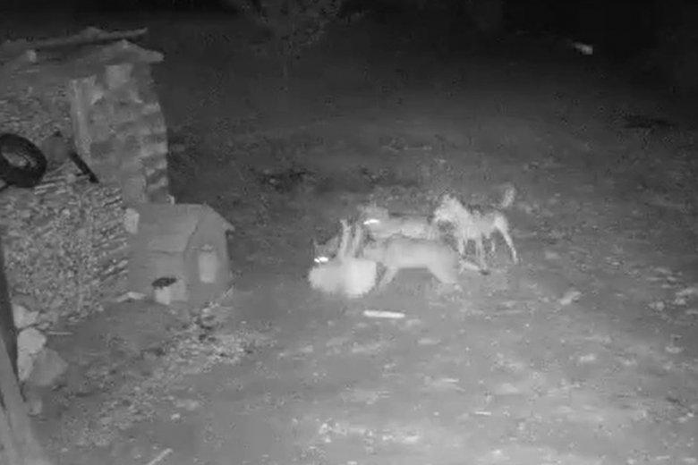 Farkasok ragadtak el egy házőrzőt Csíkdánfalván