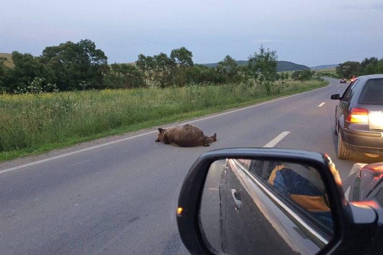 Medvét ütöttek el Udvarhelyszéken: egy darabig az úton feküdt az állat, aztán odébbállt