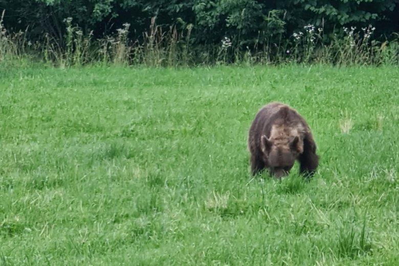 Tánczos: nem tekinthetőek potenciális veszélynek az emberektől meg nem riadó medvék