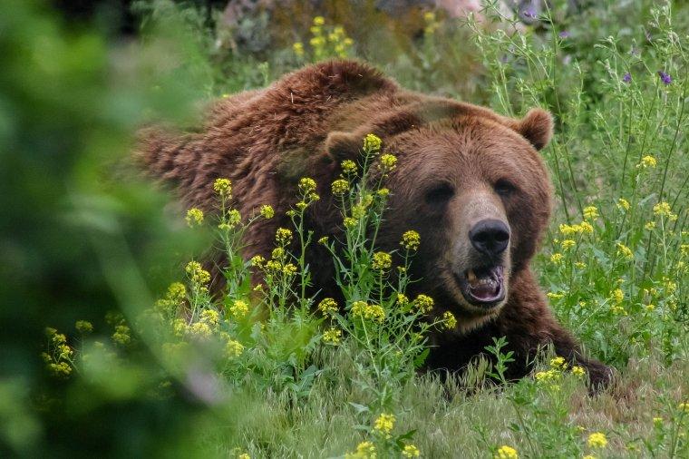 Egy hétig tartott rettegésben egy grizzly medve egy alaszkai táborozót