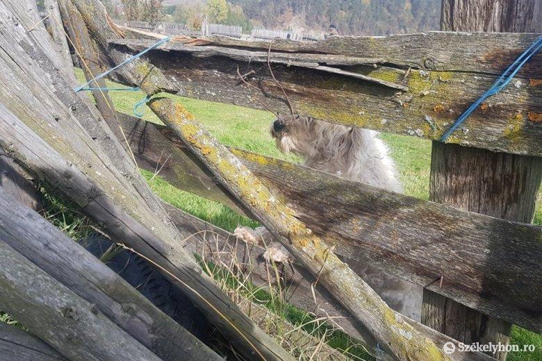 Nyolc portán vonult végig a medve, az emberek már belefáradtak, hogy a hatóságokat értesítsék