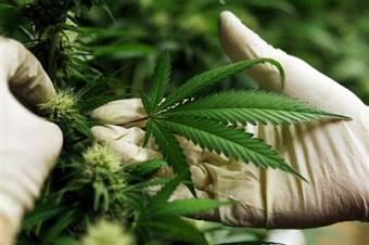 A marihuána gyógyászati célú felhasználásának engedélyezését fontolgatja a kormány