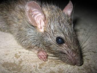 Patkány harapott meg egy férfit Bukarest központjában