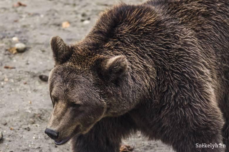 Szétosztaná a medvéket Borboly Csaba