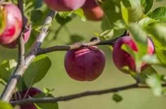 Kicsi az alma a csapadékhiány miatt