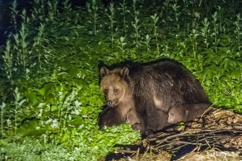 Három medve járt be egy ülkei gazdaságba