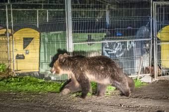 Ismét felbukkantak a medvék Tusnádfürdő és Maroshéviz utcáin