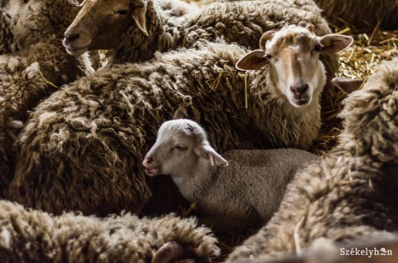 Igényekhez igazodó szolgáltatások: kérésre házhoz szállítják a bárányhúst a gazdák