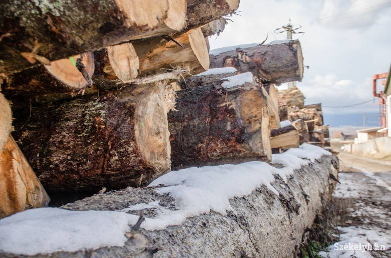 Harminc, illegális fakivágással gyanúsított személynél tartottak házkutatást a hatóságok