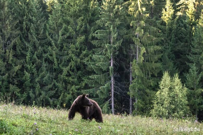 Fáklyával igyekeznek elriasztani a medvét, amíg ki nem lőhetik