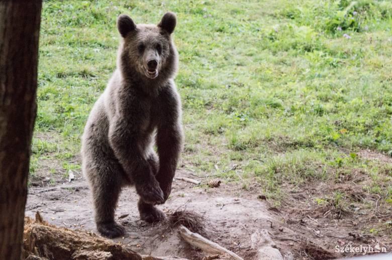 Konyhába tört be egy medve Tusnádfürdőn, a lakók hiába hívták a 112-őt