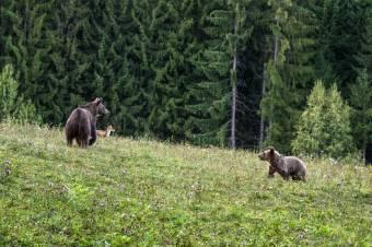 Kivitelezhetetlen a medveexport, hat nagyvad kilövését kérik Brassóban