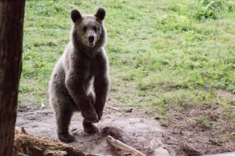 Medvetámadások: a vadászok szerint nem önbíráskodnak a székelyföldiek