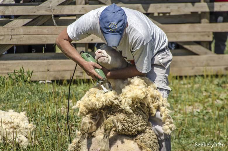 Hargita megyében senki sem vállalkozott gyapjúbegyűjtésre