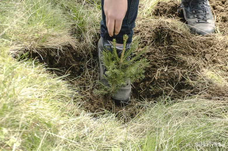 Már elkezdték a csemeteültetést a székelyföldi erdőkben