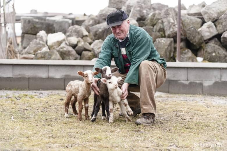 Hármasiker bárányok születtek Tusnádon