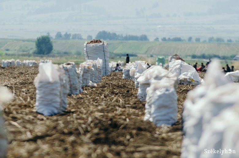 Megsarcolja a kormány a burgonyatermesztőknek járó támogatást