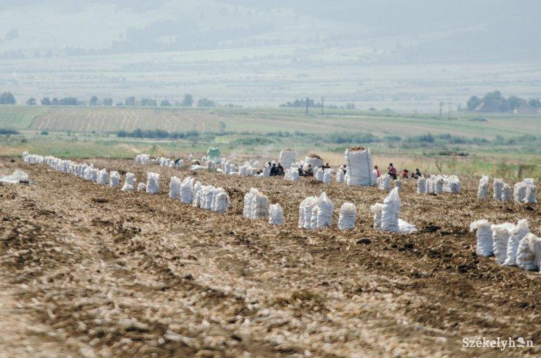 Több mint húsz százalékkal csökkent a burgonyatermés