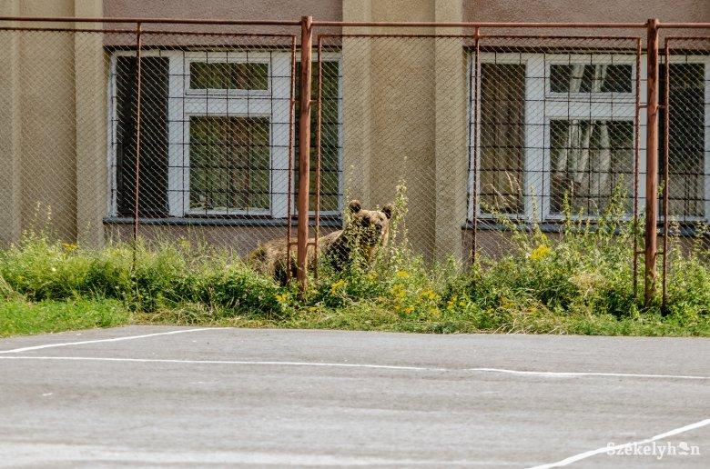 Medgyes utcáiról zavarták el a medvét