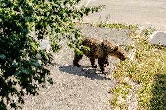 A medve nem játék, különösen lakott területen – vadászok a beavatkozási törvényről
